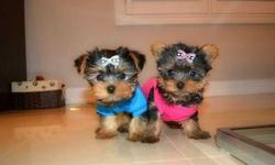 asdfghjklkjhgfdfg12 week old teacup Yorkie puppys for sale