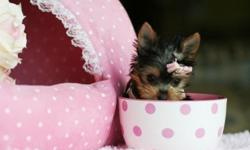 asvdfbr Tea cup yorkies puppies looking for their new home