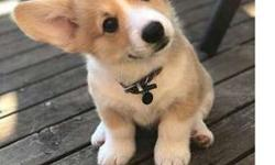 Attractive Pembroke welsh corgi puppy available