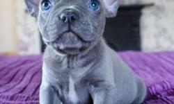 AVI Trained French Bulldog Puppies