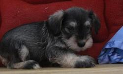AWE Miniature Schnauzer puppies for re-homing