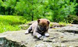 awe Shiba Inu puppies available