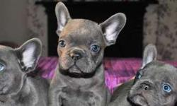 Awesome Blue French Bulldog Puppies Available Now