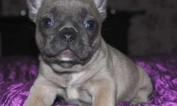 Awesome M/F Blue French Bulldog Puppies