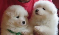 Awesome Potty trained Samoyed puppies for sale