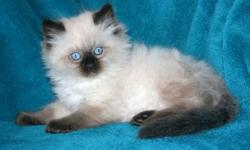 Awesome Ragdoll kittens