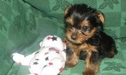 Babyface AKC Trained Yorkie Puppies