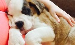 Barter possible- Saint Bernard Puppy-microchipped, shots,