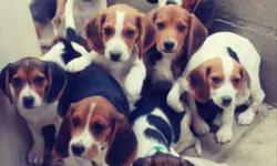 Beagle Puppies! microchipped. vet checked