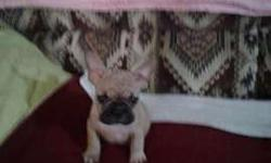 Beautiful ACA REGISTERED FRENCHIE MALE
