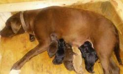 *Beautiful AKC Labrador Retriever Puppies!*