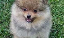 Beautiful AKC Male Pomeranian
