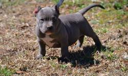 Beautiful Big Strong Healthy American Pitbull Puppies