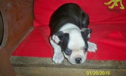 Beautiful, Boston Terrier Male
