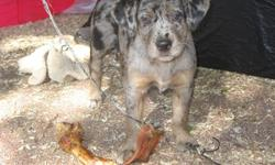 Beautiful Catahoula puppies they our 8 weeks old