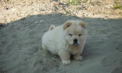 Beautiful Cream Chow Chow Girl Puppies For Sale