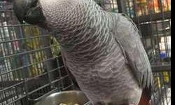 Beautiful Excellent Talker African Grey Congo