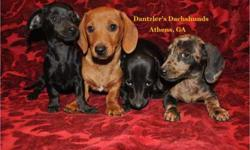 Beautiful Healthy Miniature Dachshunds Available
