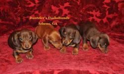 Beautiful, Healthy Smooth Coat Dachshunds available Now