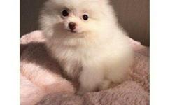 Beautiful male &Female white poms puppies ready now