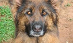 Beautiful Spayed Long coat German Shepherd Female
