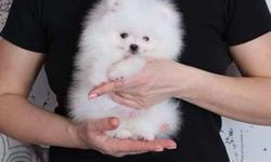 Beautiful Teacup Pomeranian Purebred puppies