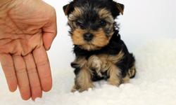 Beautiful Teacup & Toy Yorkie Puppies Available