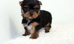 Beautiful Teacup Yorkies Available