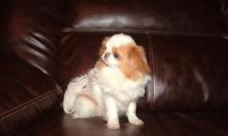 beautiful tiny ckc japanese chin for sale