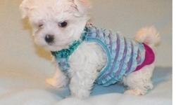 Beautiful white Maltese Puppies Available now for you