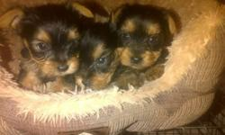 Beautiful Yorkies Puppies For Sale boys and girls