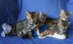 Benevolent Bengal kittens For Sale