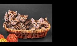 Bengal kittens ready now