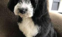 Bernedoodle male and female F1B