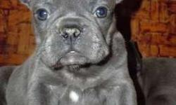 Besttt Blue French Bulldog Puppies