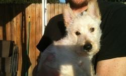 BHJDHJF Scottish Terrier Puppies For Sale