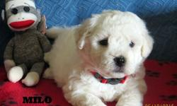Bishon Frise puppies