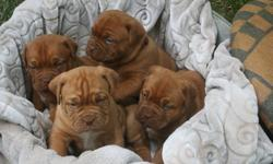 .bjhsfsgvb Dogue De Bordeaux Puppies For Sale