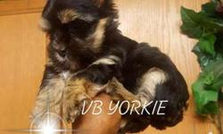 "Black and Gold Yorkie "" Female"""