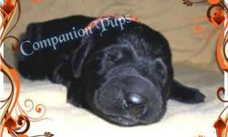 Black Labradoodle ~ Orange Black Collar ~ See Video
