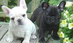 Black &White AKC Reg Blue French Bulldog M/F Puppies ready