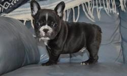 Blinhjy French Bulldog puppies