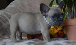 BLLUE Trained French Bulldog Puppies