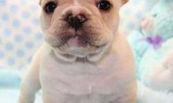BLU French Bulldog Puppies