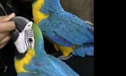 Blue and gold macaw babies