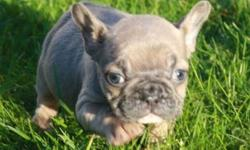 Blue Fawn Female French Bulldog Pup
