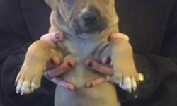 Blue/red nose pitbulls puppies