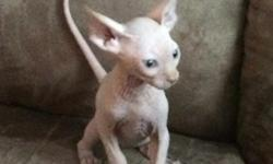 bnbhgv Sphynx kittens available for good homes