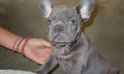Bright M/F Blue French Bulldog Puppies