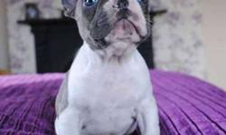 bubly Trained French Bulldog Puppies